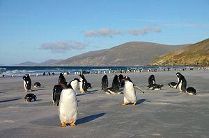 Gentoo penguin - Saunders Island, Falkland Islands.