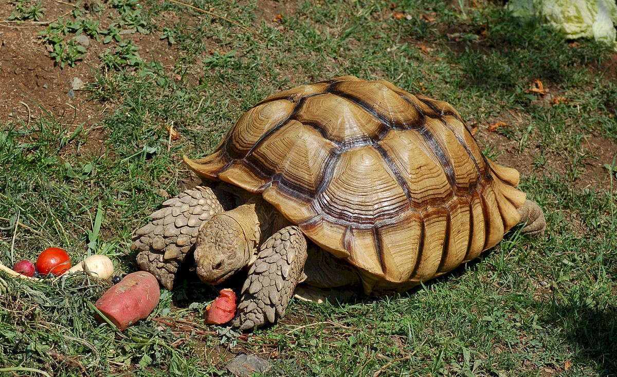African spurred tortoise wikipedia for Tartaruga californiana