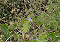 Geranium albanum - Jardin des Plantes.jpg