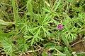 Geranium dissectum kz2.jpg