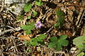 Geranium nodosum PID941-1.jpg