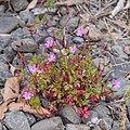 Geranium robertianum in Waioeka Gorge SR 02.jpg