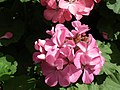 Geranium single from Lalbagh flower show Aug 2013 7913.JPG