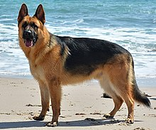 German Shepherd - DSC 0346 (10096362833).jpg