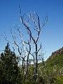 Ghost gums, Great Western Tiers, Tasmania - panoramio.jpg