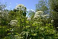 Giant Hogweed - Flickr - ARG Flickr.jpg