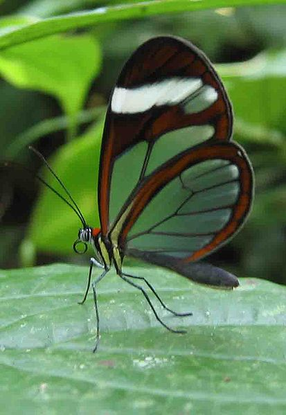 Archivo:Glasswing butterfly Panama.jpg