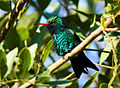Glittering-bellied Emerald.jpg