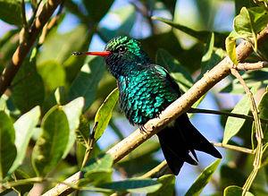Glittering-bellied emerald - SE Brazil