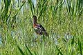 Glossy Ibis (Plegadis falcinellus) (26490909121).jpg