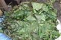 Gnetum africanum Leaves (Eru, Okok).jpg
