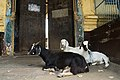 Goats near the gates of Cochin Thirumala Devaswom, 2 March 2019.jpg