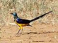 Golden-bellied Starling, Kenya 1.jpg