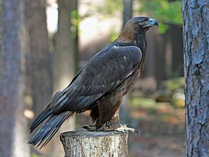 Bald and Golden Eagle Protection Act - Golden eagle