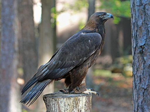 Golden Eagle RWD2