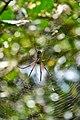 Golden Orb Spider, Uganda (15024157659).jpg