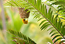 Golden Palm Weaver.jpg