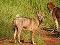 Golden jackal (Canis aureus) കുറുനരി 2.jpg