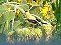 Goldfinch at Cape May National Wildlife Refuge. (4678374623).jpg