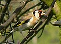 Goldfinch awaits turn at Feeder - geograph.org.uk - 957645.jpg