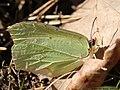 Gonepteryx rhamni 07.JPG