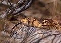 Gopher Snake (d651e5d5-3fa0-4af6-95be-745c0d86cb41).jpg
