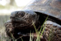 Gopher tortoise 1.jpg