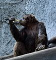 Gorilla, Vandalur zoo.jpg