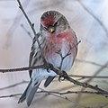 Gråsiska-9847 - Flickr - Ragnhild & Neil Crawford.jpg