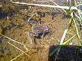 Granota entre el Prat Fondal i l'estany Mal P1300538.jpg