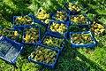 Grape harvest in Chateaux Luna vineyard 2.jpg