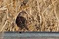 Grasshopper Sparrow (fall plumage) Curly Horse Ranch Rd Sonoita AZ 2017-12-16 09-28-43 (24258243507).jpg