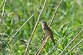 Grasshopper Warbler (Locustella naevia) (34231783040).jpg