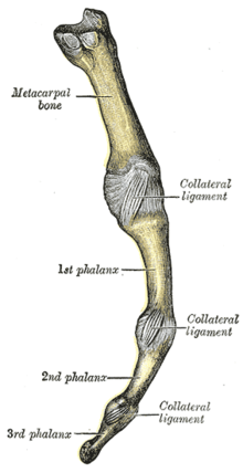 a bal kéz középső ujjának ízületei