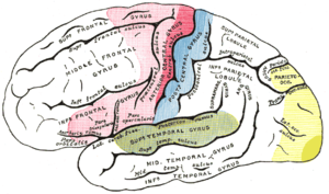 Auditory cortex - Areas of localization on lateral surface of hemisphere. Motor area in red. Area of general sensations in blue. Auditory area in green. Visual area in yellow.