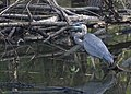 Great Blue Heron (29702847415).jpg