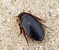 Great Diving Beetle (6937636633).jpg