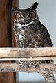 Great Horned Owl (5466325109).jpg