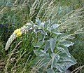 Great Mullein or Aaron's Rod - geograph.org.uk - 197103.jpg