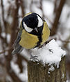 Great Tit in the Snow 2 (5333254785).jpg