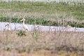 Great White Pelican (Pelecanus onocrotalus) (8079442905).jpg
