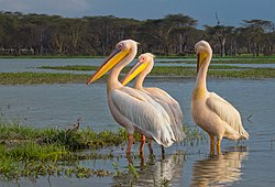 Great White Pelicans, Lake Naivasha (44933510752).jpg