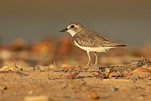 Greater Sand Plover 1 - Lee Point.jpg