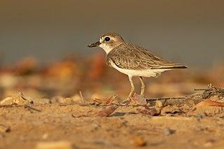 Greater sand plover Species of bird