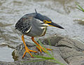 Green-backed Heron (Butorides striata) (13646228885).jpg