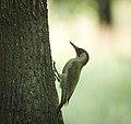 Green woodpecker (41919506794).jpg