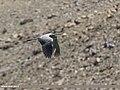 Grey Heron (Ardea cinerea) (37506277980).jpg