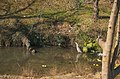 Grey Heron - アオサギ - panoramio (3).jpg