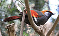 Grey and Orange bird 2 (3312536698).jpg