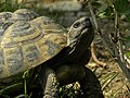 Griechische Landschildkröte - Testudo hermanni - ältes Tier.jpg